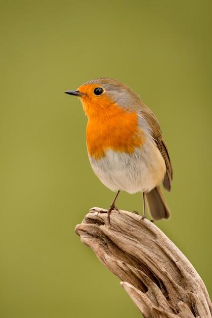 Bonita ave con un bonito plumaje rojo anaranjado Foto Premium
