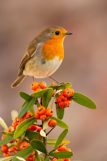 Bonito pájaro con un bonito plumaje rojo Foto Premium