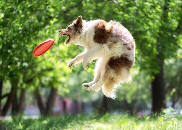 Border collie atrapando frisbee en el parque Foto Premium