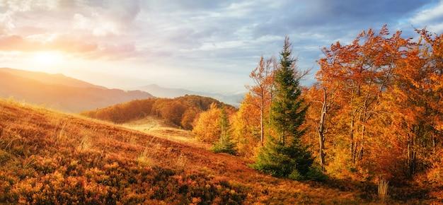 Bosque de abedules en la tarde soleada, mientras que la temporada de otoño Foto Premium