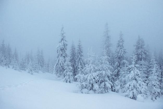 Bosque de invierno congelado en la niebla. pino en la naturaleza cubierto de nieve fresca cárpatos, ucrania Foto gratis