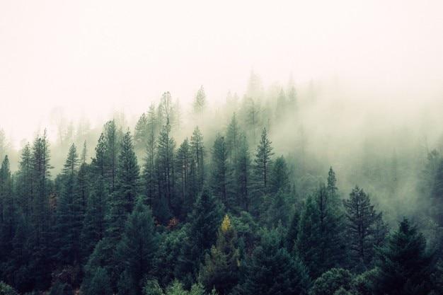 Bosque de pinos con niebla Foto gratis