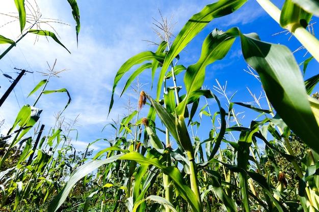 Brotes de maíz sobre un fondo de cielo azul, vista desde la parte inferior Foto Premium