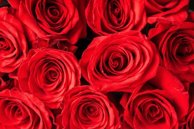 Brotes de primer plano de rosas rojas. brillante festivo floral. Foto Premium