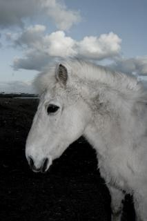 caballo islandés, piel