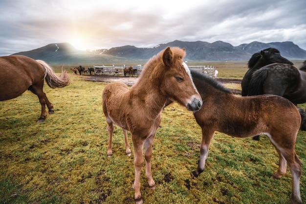 Caballo islandés en la naturaleza escénica de islandia. Foto Premium