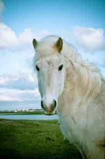 caballo islandés Foto Gratis