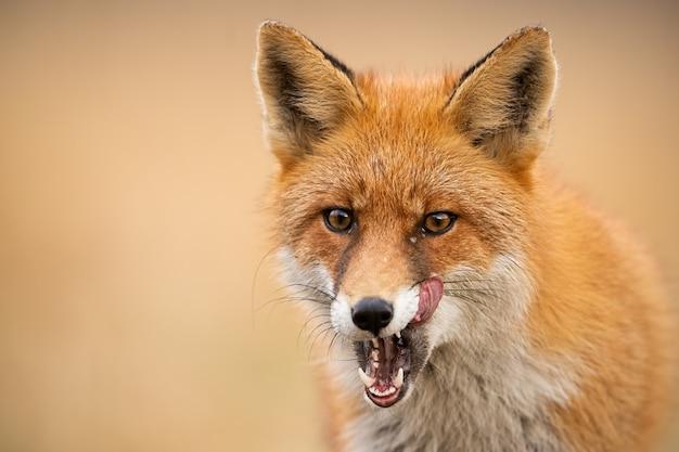 Cabeza de zorro rojo, vulpes vulpes, mirando directamente Foto Premium