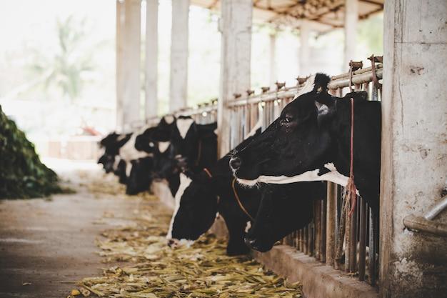 Cabezas de vacas holstein blancas y negras alimentándose de pasto en establo en holanda Foto gratis