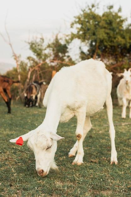 Cabra blanca joven pastando hierba con otros Foto gratis