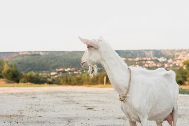 Cabra blanca de pie en la granja Foto gratis