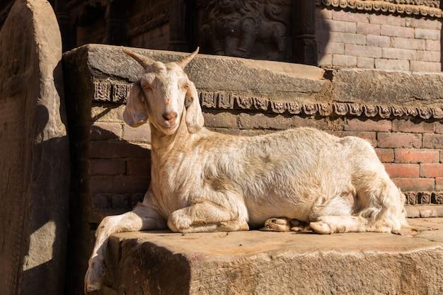Cabra blanca que miente cerca de la pared de ladrillo. Foto Premium