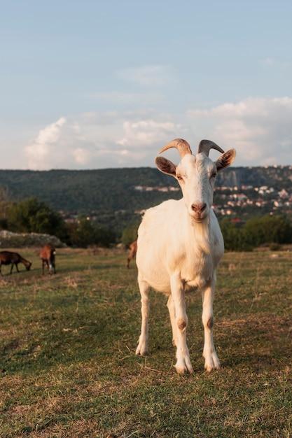 Cabra con cuernos de pie en el campo Foto gratis