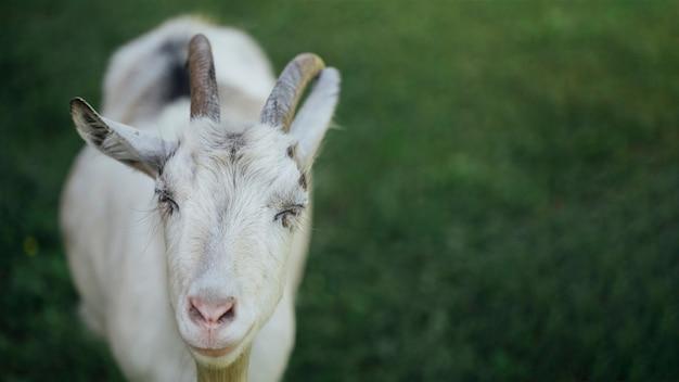 Cabra de la granja del primer en el pasto Foto gratis