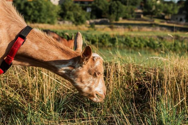 Cabra joven que come la hierba en un prado Foto gratis