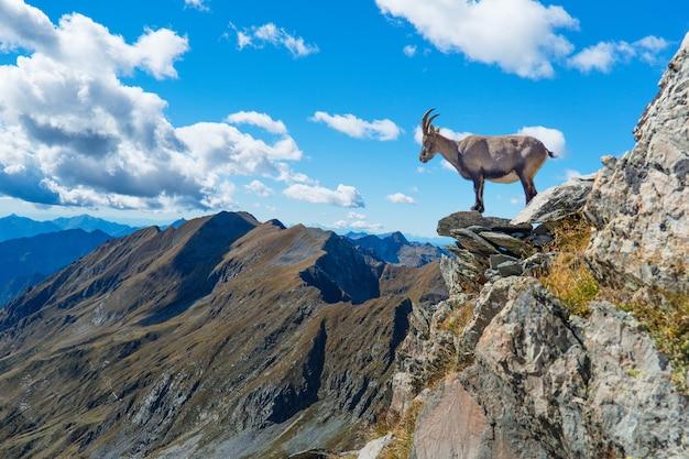 Cabra montés sobre roca en las montañas | Foto Premium