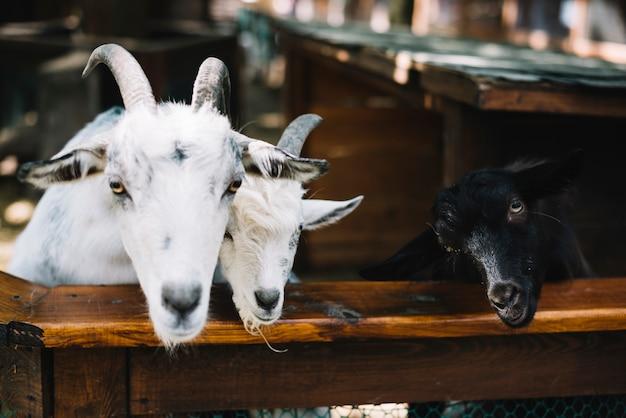 Cabras en el establo Foto gratis