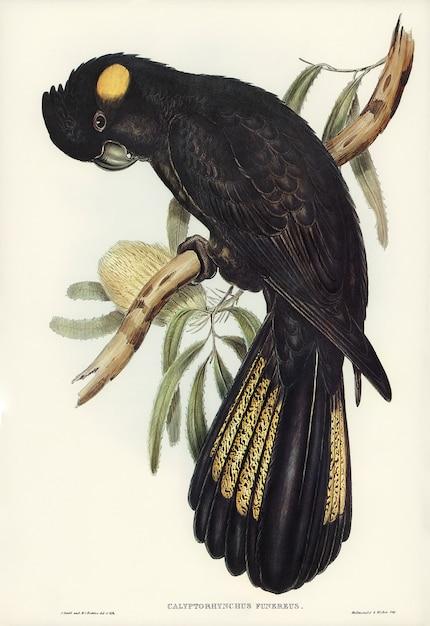 Cacatúa funeraria (calyptorhynchus funereus) ilustrada por elizabeth gould Foto gratis