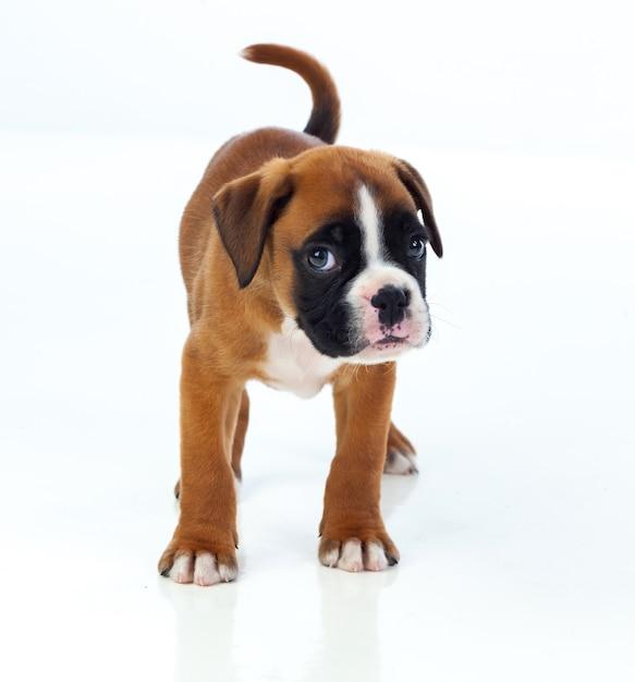 Cachorro de boxeador adorable   Descargar Fotos premium