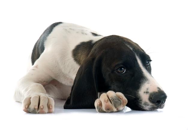 Cachorro braque d'auvergne Foto Premium