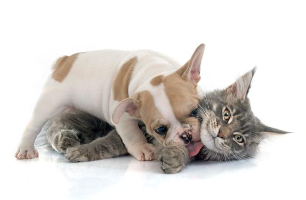 Cachorro bulldog francés y gato Foto Premium