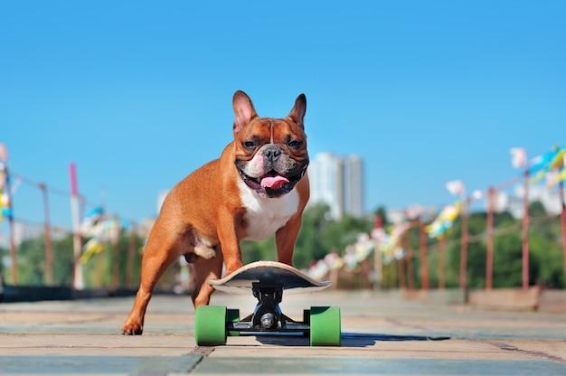 Cachorro de bulldog francés de pie en el tablero largo Foto Premium