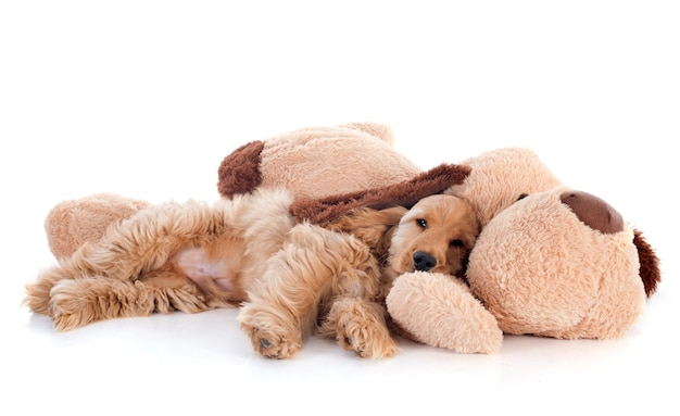 Cachorro cocker spaniel y juguete Foto Premium