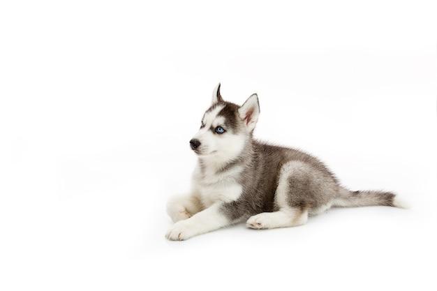 Cachorro de husky siberiano aislado y fondo blanco | Descargar Fotos ...
