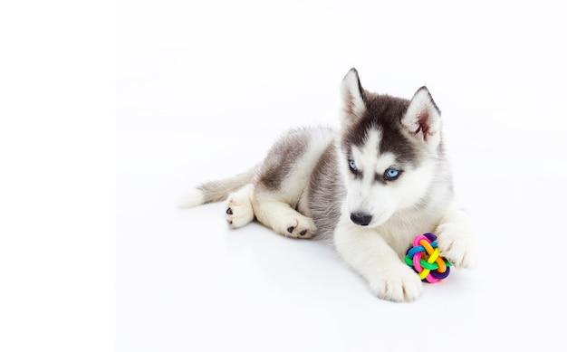 Cachorro de husky siberiano jugando con juguetes | Descargar Fotos ...