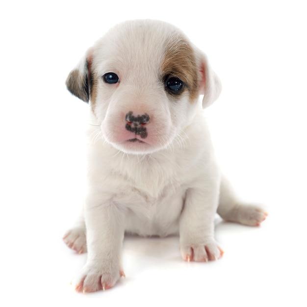 Cachorro jack russel terrier Foto Premium