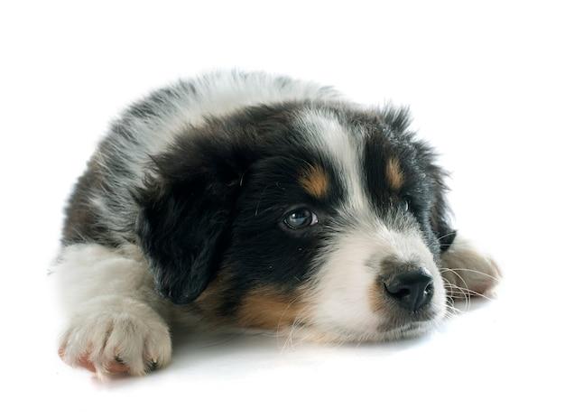 Cachorro pastor australiano Foto Premium