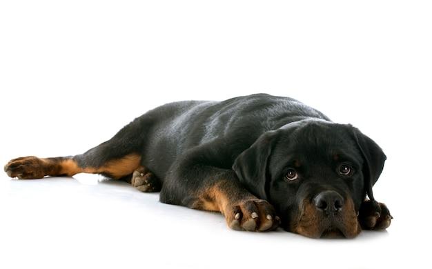 Cachorro rottweiler Foto Premium