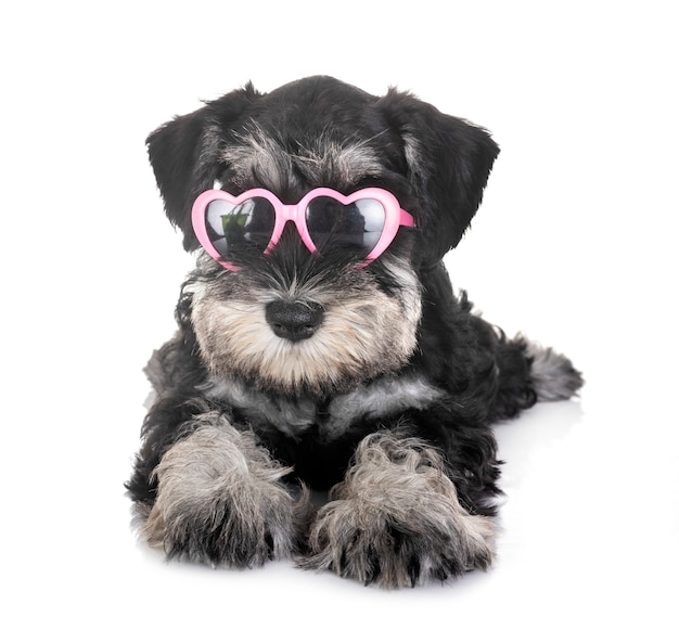 Cachorro schnauzer miniatura Foto Premium