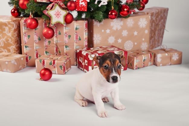 Cachorros jack russell terrier en interior de año nuevo Foto Premium
