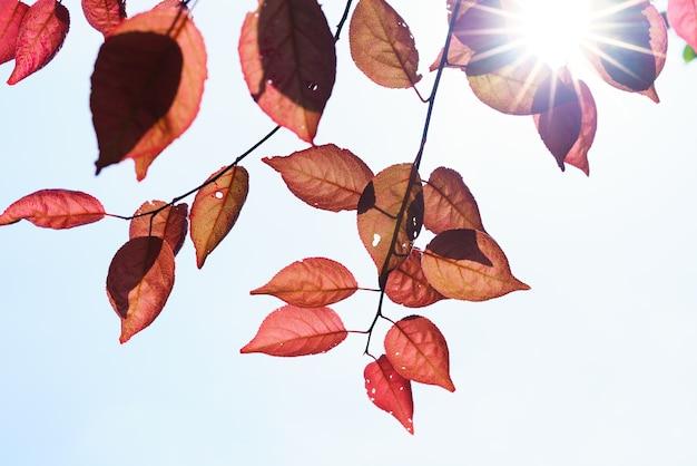 Caída en el bosque. árbol de primavera con hojas rojas y rayos de luz solar. Foto Premium