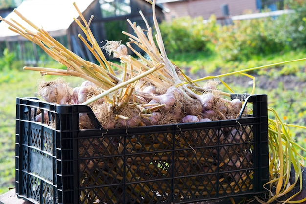 Caja de ajo fresco de jardín, nueva cosecha, comida vegetariana. Foto Premium