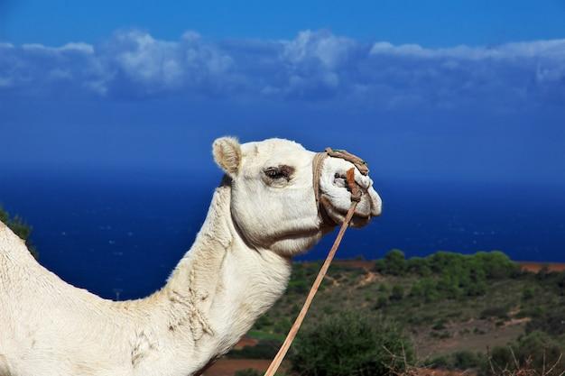 Camello blanco en la costa mediterránea en argelia, áfrica Foto Premium