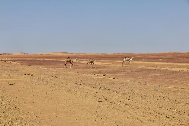 El camello en el desierto del sahara, áfrica Foto Premium
