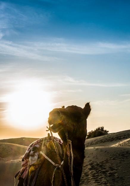 Camello en el desierto de thar en rajasthan india Foto gratis