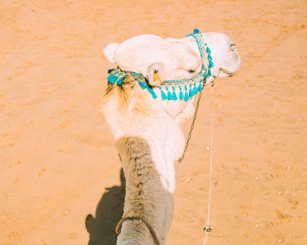 Camello en paisaje de desierto en marruecos Foto gratis