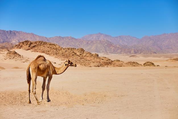 Un camello permanecer en una tierra desértica con cielo azul en el fondo. Foto Premium