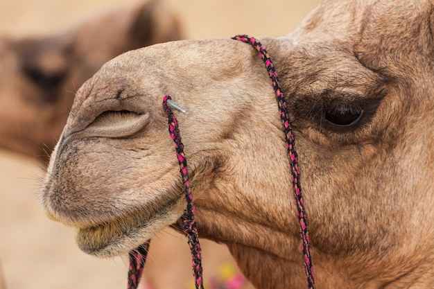 Camellos en el desierto Foto Premium