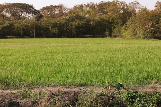 El campo del arroz del paisaje antes del atardecer tiene tono anaranjado claro en tailandia Foto Premium