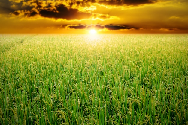 Campo de arroz verde en el cielo del amanecer Foto Premium