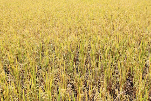 Campo de arrozal. Foto Premium