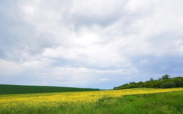 Campo de colza de color amarillo brillante en primavera. Foto gratis