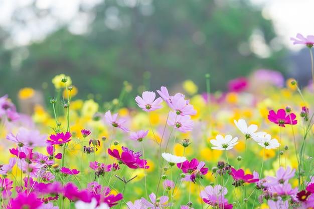 Campo de flores cosmos Foto Premium