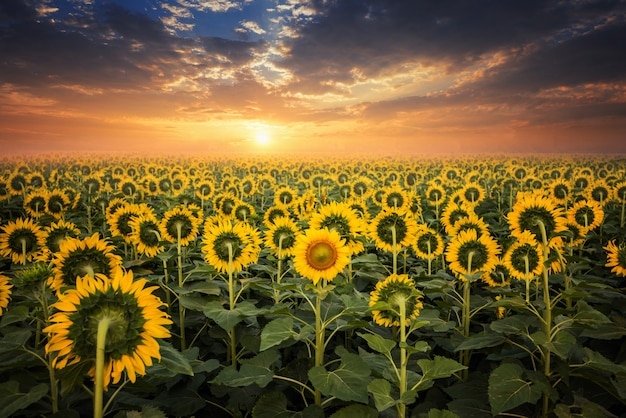 Campo de girasoles florecientes en un fondo de la puesta del sol Foto Premium