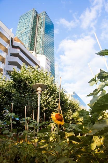 Campo de girasoles en tinas junto a modernos rascacielos de cristal y un cielo azul de fondo en el distrito de la defense en parís Foto Premium