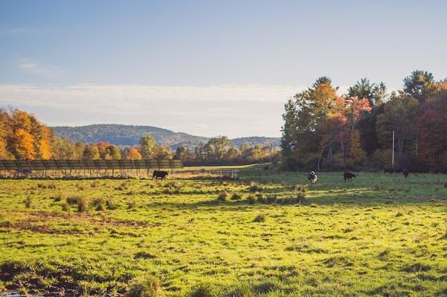 Campo de hierba con vacas a lo lejos en un día soleado con árboles y cielo azul Foto gratis